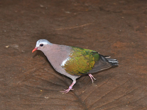 photo Grey-capped emerald dove / <span class='cursive'>Chalcophaps indica</span>
