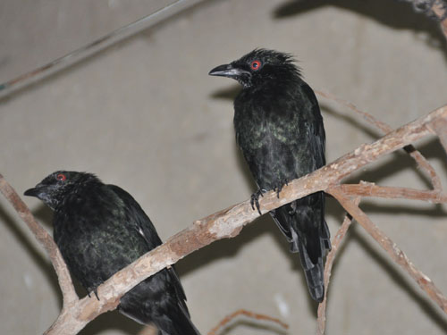 photo Philippine glossy starling / <span class='cursive'>Aplonis panayensis</span>