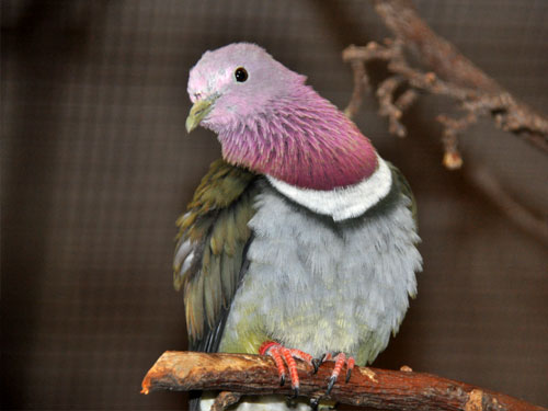 photo Temminck's fruit dove / <span class='cursive'>Ptilinopus porphyrea</span>