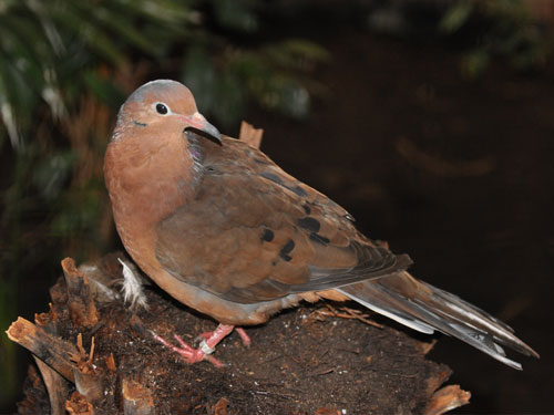 photo Socorro mourning dove / <span class='cursive'>Zenaida graysoni</span>