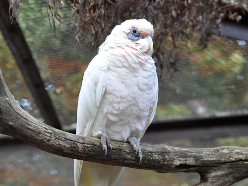 Western long-billed corella