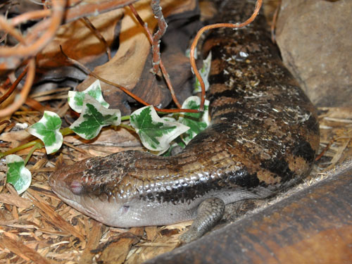 photo Blotched blue-tongued skink / <span class='cursive'>Tiliqua nigrolutea</span>