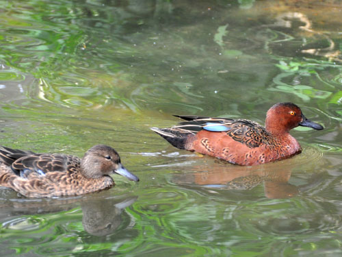 photo Cinnamon teal / <span class='cursive'>Spatula cyanoptera</span>