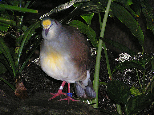 Yellow-breasted ground dove