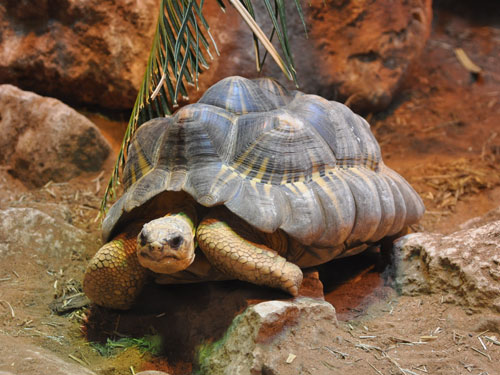 photo Radiated tortoise / <span class='cursive'>Astrochelys radiata</span>