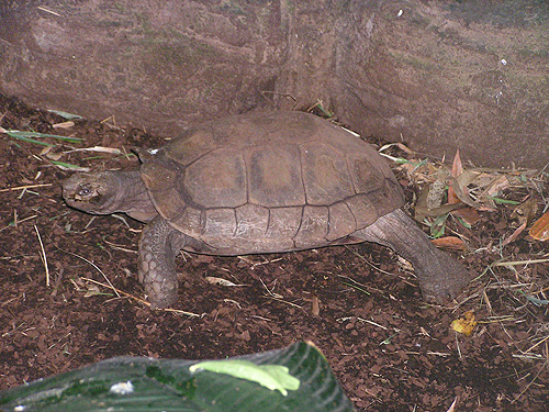 Asian brown tortoise