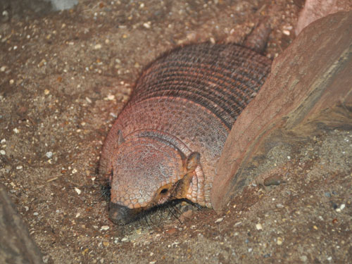 photo Larger hairy armadillo / <span class='cursive'>Chaetophractus villosus</span>