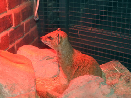 photo Yellow mongoose / <span class='cursive'>Cynictis penicillata</span>
