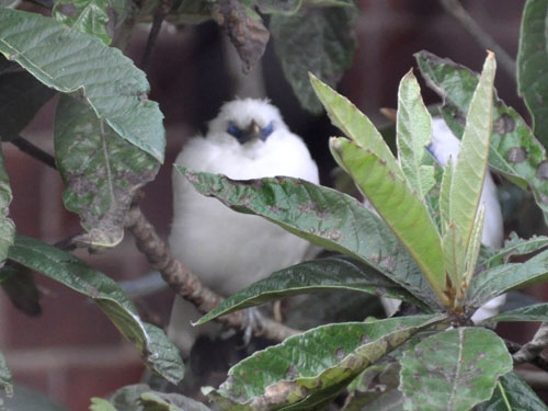 photo Bali mynah / <span class='cursive'>Leucopsar rothschildi</span>
