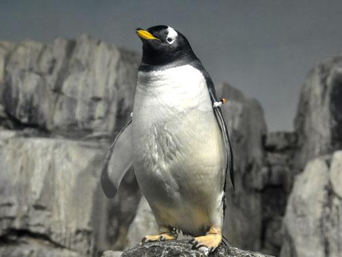 pygoscelis papua papua    gentoo penguin in zoos