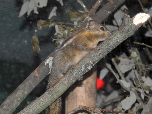 photo Swinhoe's striped squirrel / <span class='cursive'>Tamiops swinhoei</span>