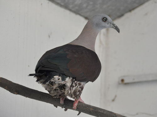 Zoe imperial pigeon