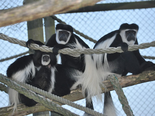 Kikuyu black-and-white colobus