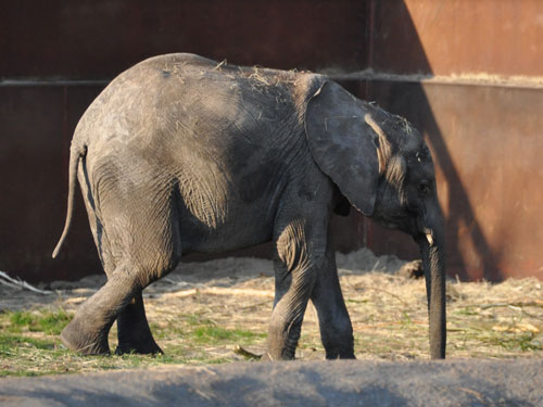 South African bush elephant