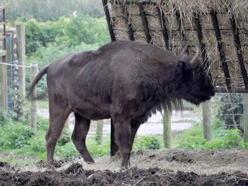 photo European wisent / <span class='cursive'>Bison bonasus</span>