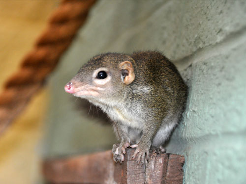 photo Burmese tree shrew / <span class='cursive'>Tupaia belangeri belangeri</span>