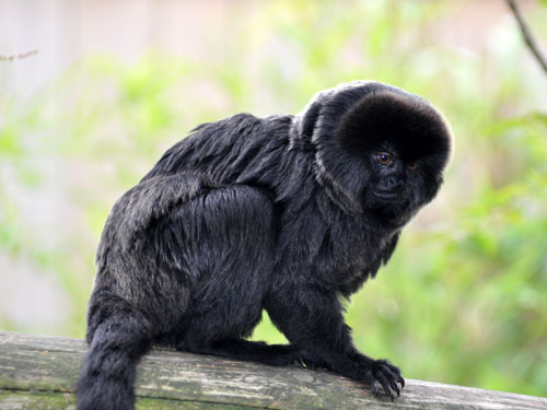 photo Goeldi's monkey / <span class='cursive'>Callimico goeldii</span>