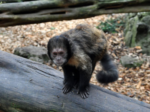 photo Sapajus xanthosternos / Golden-bellied capuchin