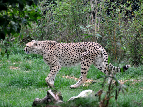 photo South African cheetah / <span class='cursive'>Acinonyx jubatus jubatus</span>