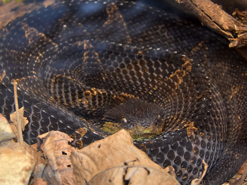 photo Jumping pitviper / <span class='cursive'>Atropoides mexicanus</span>