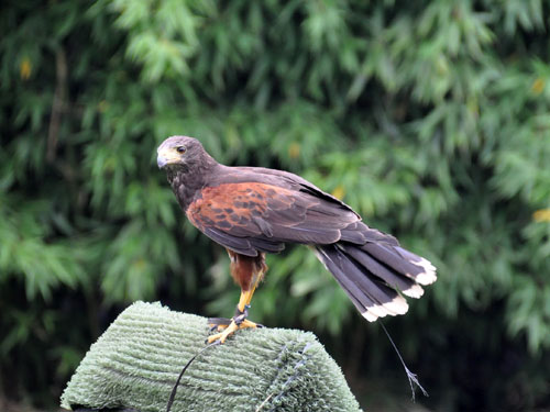 Harris' hawk/bay-winged hawk
