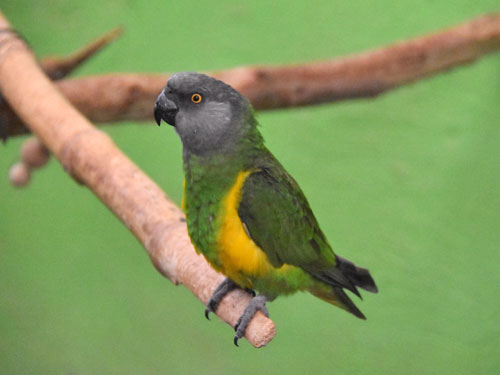 photo Poicephalus senegalus / Senegal parrot