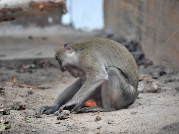 photo Crab-eating macaque / <span class='cursive'>Macaca fascicularis</span>
