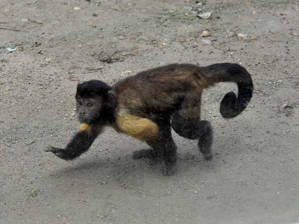 Tufted capuchin