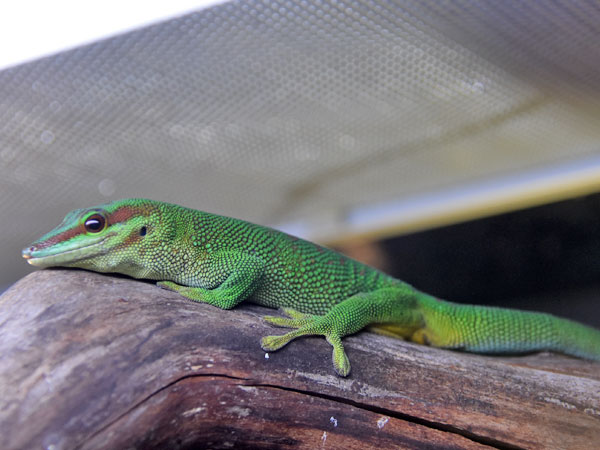photo Giant day gecko / <span class='cursive'>Phelsuma madagascariensis</span>