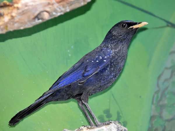 photo Blue whistling thrush / <span class='cursive'>Myophonus caeruleus</span>