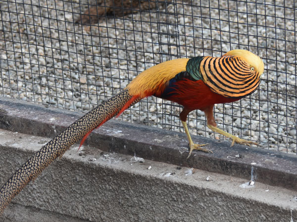 photo Golden pheasant / <span class='cursive'>Chrysolophus pictus</span>
