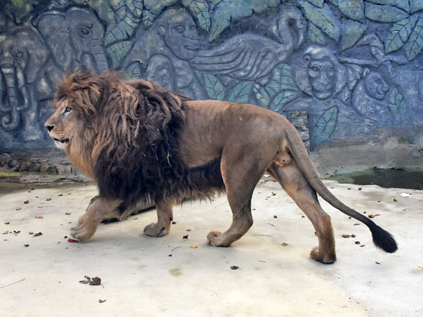 photo Lion / <span class='cursive'>Panthera leo</span>