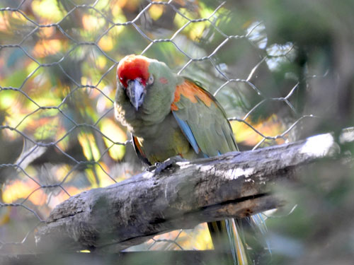 photo Red-fronted macaw / <span class='cursive'>Ara rubrogenys</span>