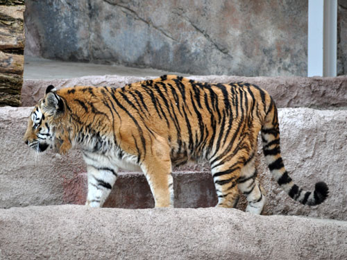 photo Panthera tigris altaica / Amur tiger