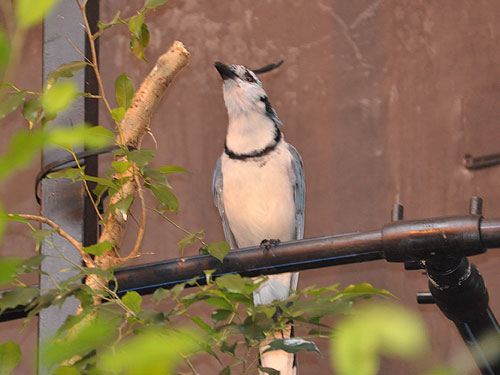 Magpie jay