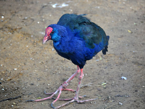 photo Purple swamphen / <span class='cursive'>Porphyrio porphyrio</span>