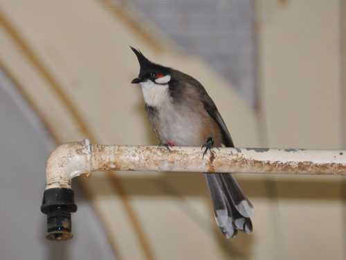photo Red-whiskered bulbul / <span class='cursive'>Pycnonotus jocosus</span>