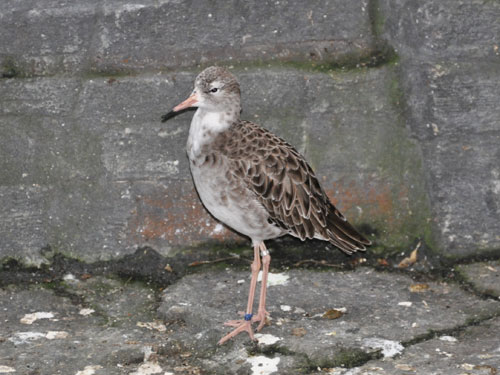 photo Ruff / <span class='cursive'>Calidris pugnax</span>