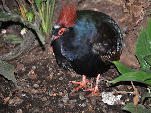 photo Crested wood partridge / <span class='cursive'>Rollulus rouloul</span>