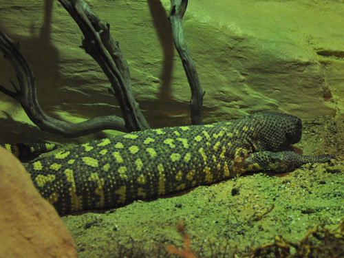 photo Rio Fuerte beaded lizard / <span class='cursive'>Heloderma horridum exasperatum</span>
