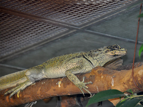 photo Philippine sail-finned water dragon / <span class='cursive'>Hydrosaurus pustulatus</span>