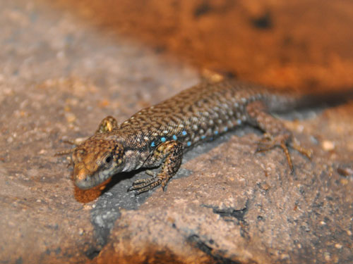 photo White-bellied lizard / <span class='cursive'>Darevskia unisexualis</span>