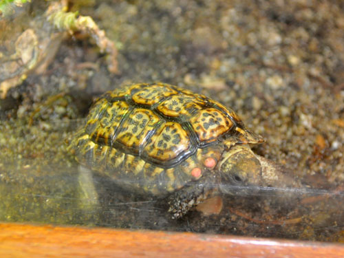 Speckled Cape tortoise