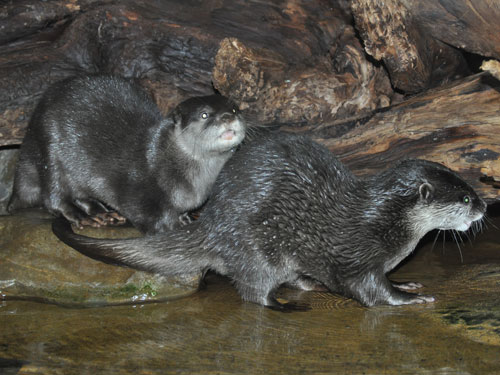 photo Oriental small-clawed otter / <span class='cursive'>Aonyx cinereus</span>