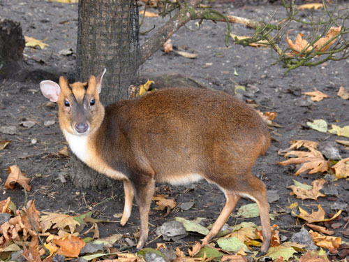 photo Chinese muntjac / <span class='cursive'>Muntiacus reevesi</span>