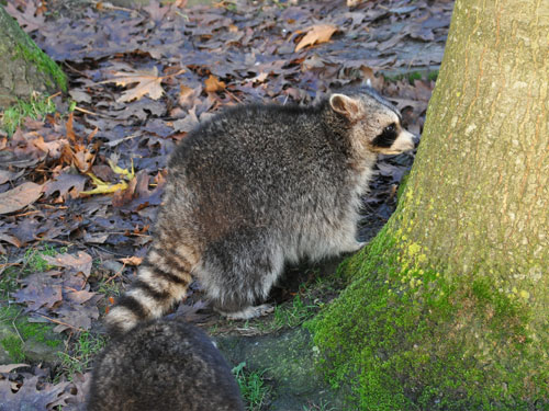 photo Raccoon / <span class='cursive'>Procyon lotor</span>