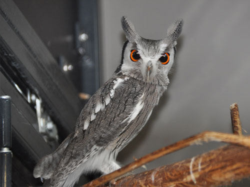 photo Northern white-faced owl / <span class='cursive'>Ptilopsis leucotis</span>
