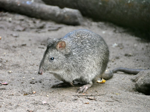 photo Potorous tridactylus / Long-nosed potoroo