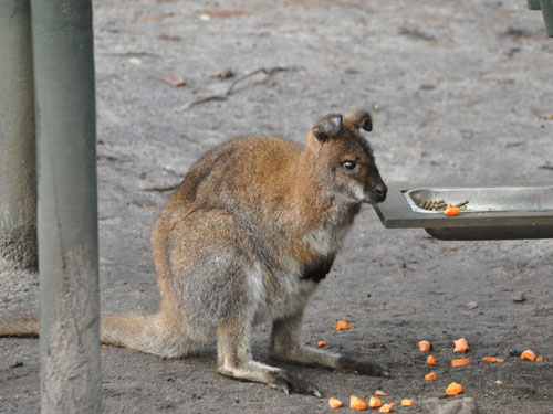 photo Red-necked wallaby / <span class='cursive'>Macropus rufogriseus</span>