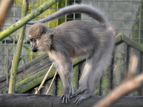 photo Agile mangabey / <span class='cursive'>Cercocebus agilis</span>